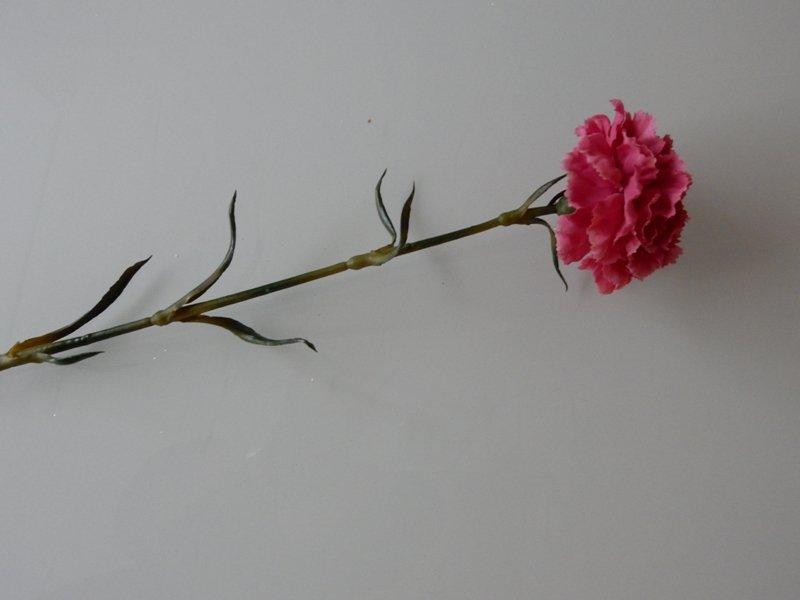 Anjer, rood roze