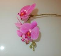 paarse orchidee, korte steel