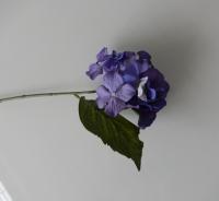 blauw lila hortensia