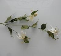 witte gloriosa, vertakt