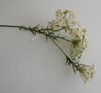 witte dille, mooi vertakt, 3 schermen bloemen