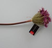 Allium, hele lange steel