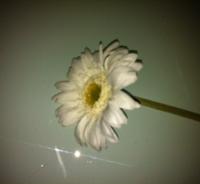 witte kleinbloemige gerbera